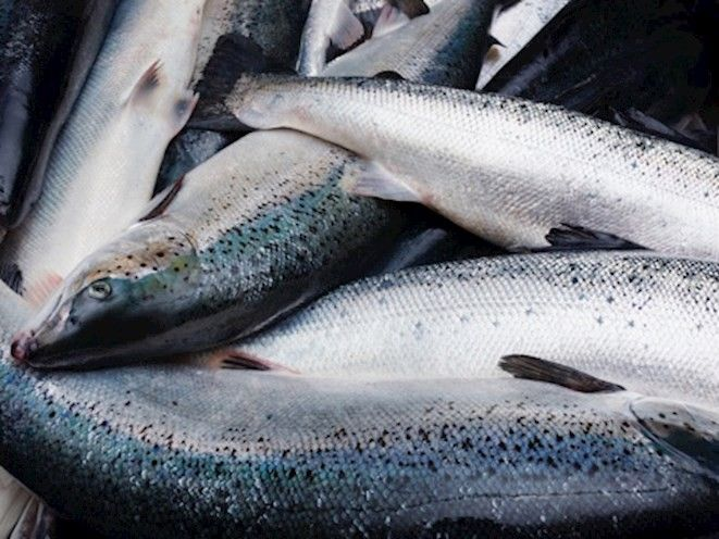 Frozen Salmon Fish