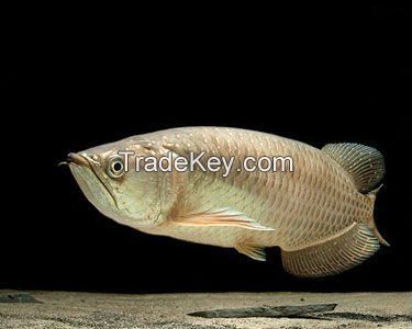PREMIUM QUALITY ASIAN AROWANA FISHES