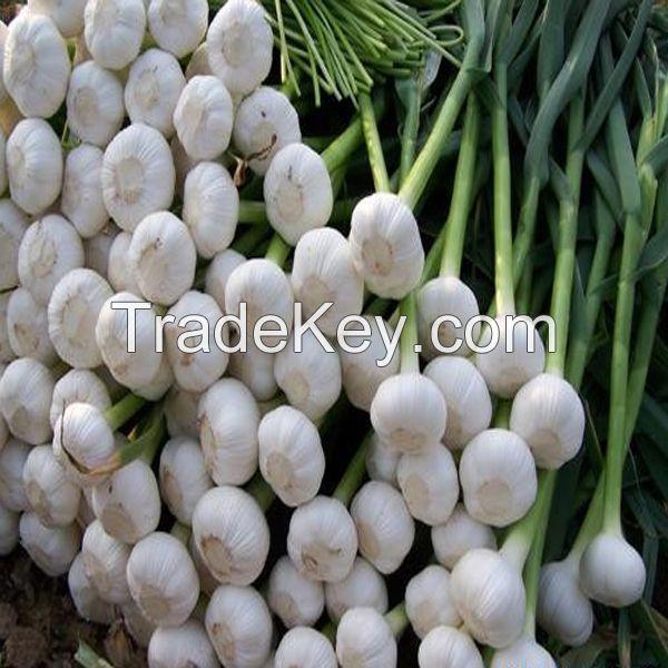 Chinese natural fresh garlic exporter