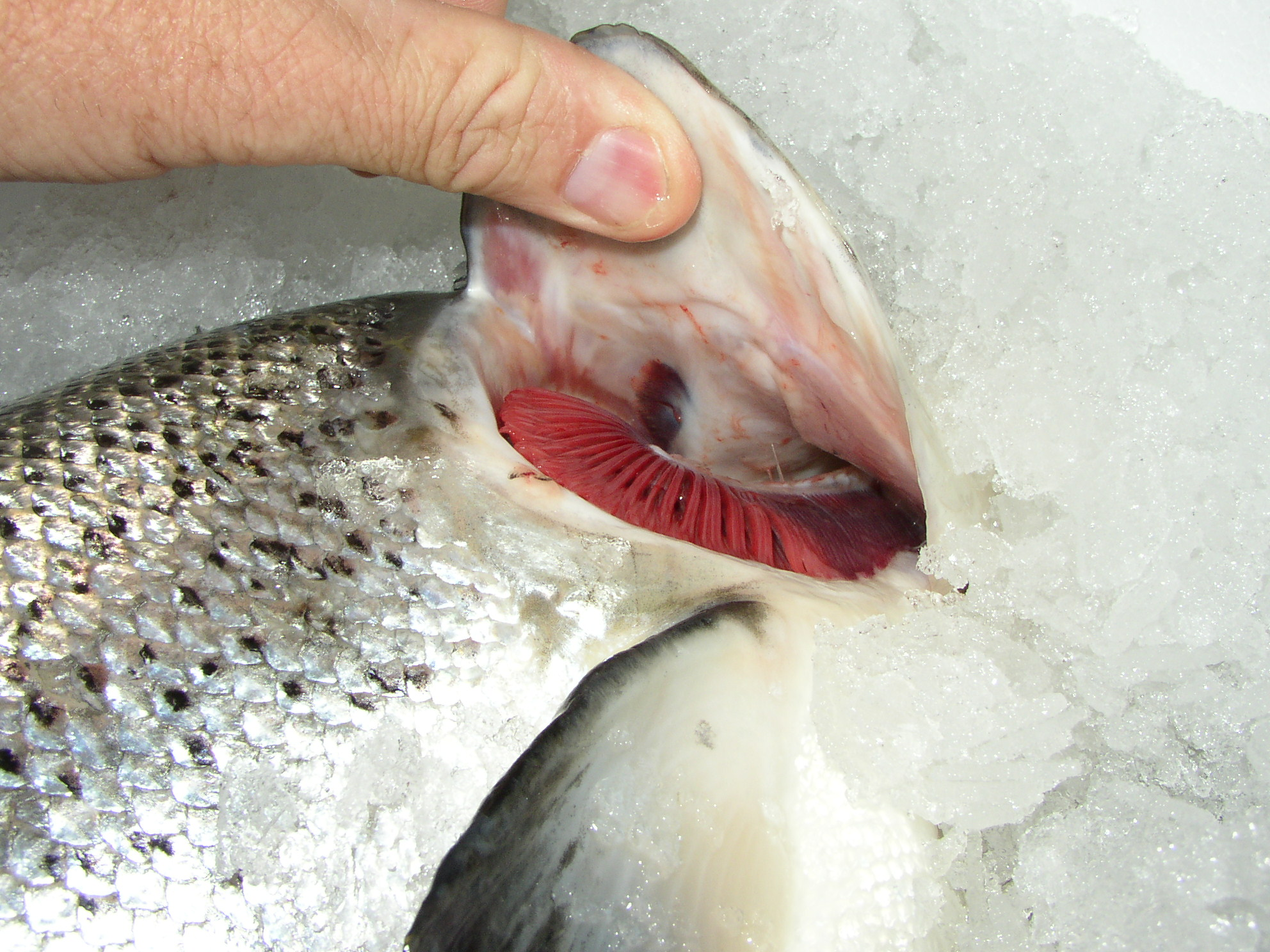 Atlantic fresh salmon, sashimi quality