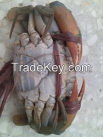 Fresh/Frozen/Alive Mud Crab