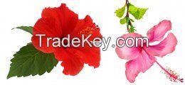 Hibiscous flower