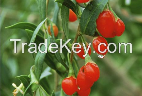 Organic Dried Ningxia Goji berry/wolfberry