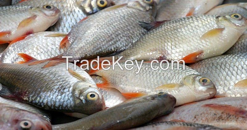 fresh Swamp EEL, Cod Roe, fish Maws, dried fish