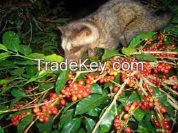 Luwak Coffee / Arabica Civets handpick Super Premium Coffee Beans from Indonesia