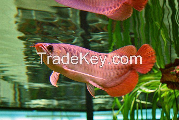 Arowana fishes