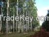 Eucalyptus Grandis See...