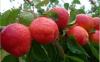 Apricot by Les Fruit D...