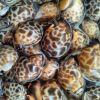 Live Topshell Snails