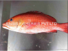 FRESH REEF-FISH WHOLE