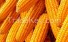 multi-standard yellow corn yellow maize for human/animal consumption
