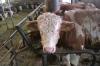 fresh halal cattle meat, compenstaed quarters, proccessed halal meat