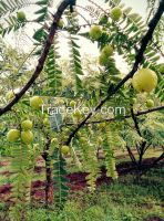 amla pulp; indian gooseberry pulp