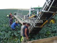 Fresh Green Cucumber (Cultivation Organic, Frozen Snow and Fresh) for sale
