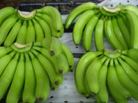 SUPER ECUADOR GREEN CAVENDISH BANANA