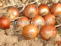 onion seeds from turkey