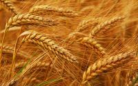 Wheat Grain , wheat flour
