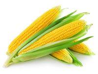 Yellow corn, NON GMO human consumption