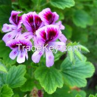 Geranium Extract (dmaa) Oil Natural Herbal Oil