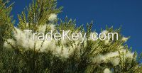 Tea Tree Oil Bulk Sales Australian Tea Oil