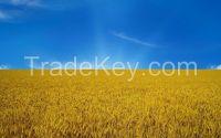Feed wheat, barley , corn