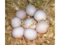 Macaw and Gray Fertile Eggs