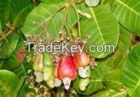 Agriculture Cashew nut, Black pepper , avocados Banana, Coconut