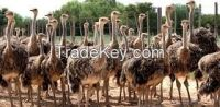ostrich eggs, chicks and ostrich feathers for sale