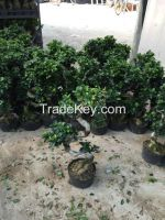 S Shaped Bonsai Ficus Microcarpa