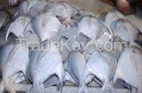 Whole Round Frozen Golden/Black/silver Pomfret Fish