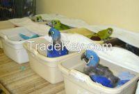 Birds Eggs, Parrots Eggs, Fertile Hatching Parrot Eggs Available For Sale