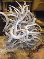 Grade A Naturally Shed Whole Red Deer Antlers