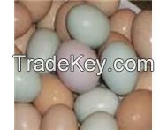 Fertile parrot eggs