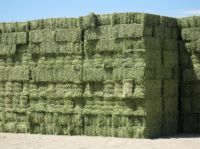 Alfalfa/Lucerne Hay for Animal Feeding