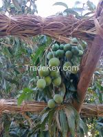 Mangoes Exporter