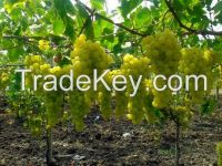 Grapes Exporter