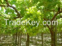 Grapes Exporter