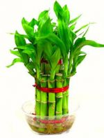 Lucky bamboo plant 2 layer
