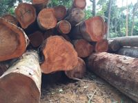 High Quality Tali Wood Square Logs from Ghana