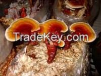 GANODERMA RED WHOLE MUSHROOM