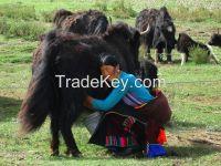 Tibet plateau cow yak milk from Shangri-La