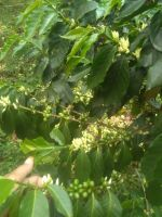Green bean gayo coffee beans