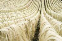 Natural Raw Grade 1 Sisal fibre. Affordable Price ..kenya