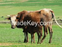 Nguni Heifers, Bulls and Calves