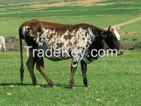 Nguni Heifers, Bulls and Calves