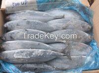 Frozen Horse Mackerel, Pacific Mackerel, Tuna,. Trout, Salmon, Bonito, Tilapia, Squid, barracuda fish