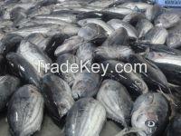Frozen Bonito Fish WR For Sale