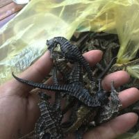 Dried Sea Horse For Sale