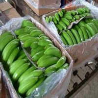 Fresh Class A Green Cavendish Bananas Of Ecuador