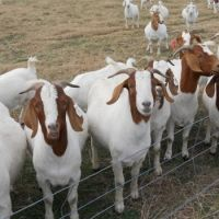 Healthy Pure saanen Goats